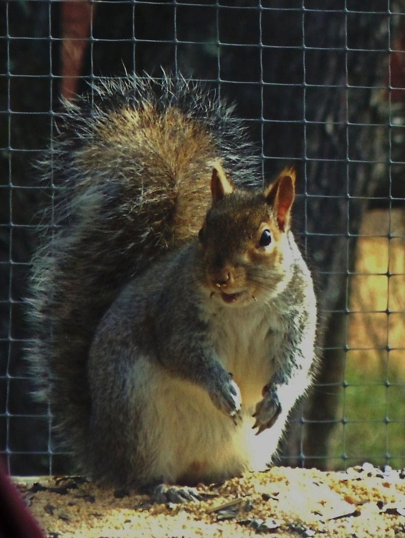 Male Squirrels http://hollynd.typepad.com/blog/2011/01/our-lovely-male-squirrel-visitor.html