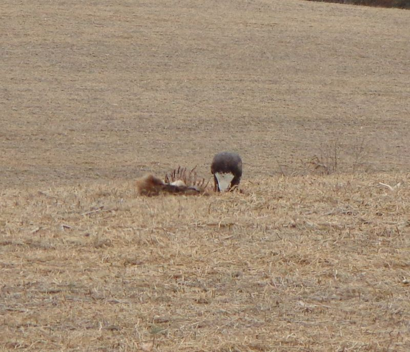 Eagle Eating Meat Eagle Eating The Dead Fox